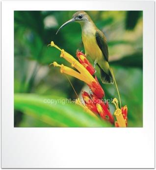 Hummingbird @ Penang Hill