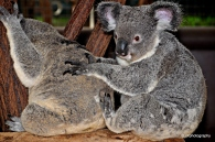 Baby koala giving his friend a massage at Lone Pine Koala Sanctuary