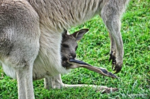 Baby kangaroo in his mother's pouch @ Lone Pine Koala Sanctuary
