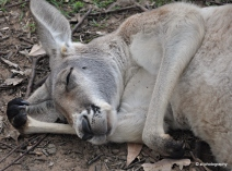 This male kangaroo doesn't want to be disturbed @ Lone Pine Koala Sanctuary