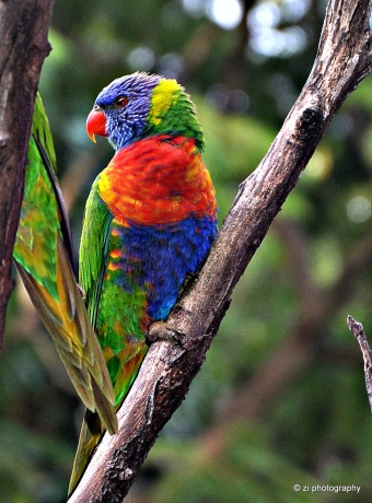 The colorful Lorikeet near Gold Coast