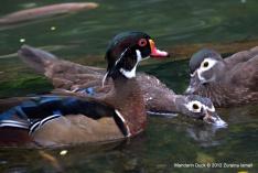 Mandarin Duck @ KL Bird Park