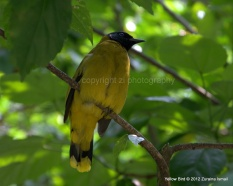 Yellow Bird @ Kuala Lumpur Lake Garden