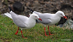 A pair of sea gulls at Arlie Beach