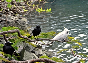 Cockatoo and the crows happily to live side by side at Hamilton Island