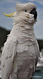 Cockatoo seen at Hamilton Island marina