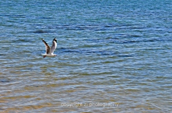 Sea gull seen flying off Hydeaway Bay
