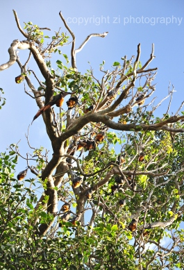 Fruit bats at Sydney's Roral Botanical Garden