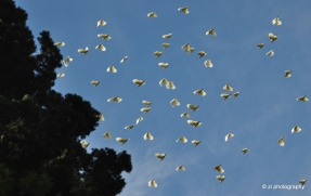 Cockatoos seen flying above Sydney's Royal Botanical Garden